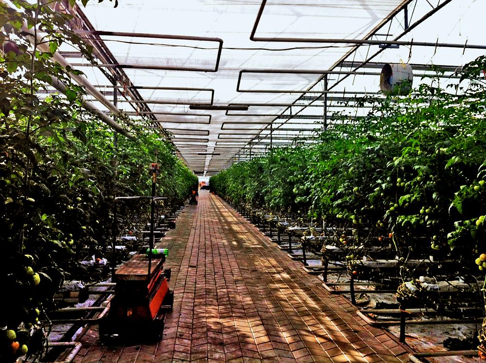 tăng trưởng cây trồng nhà kính